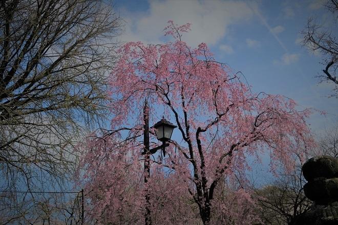 2018年 上野公園の桜(10)