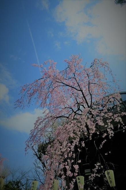 2018年 上野公園の桜(11)