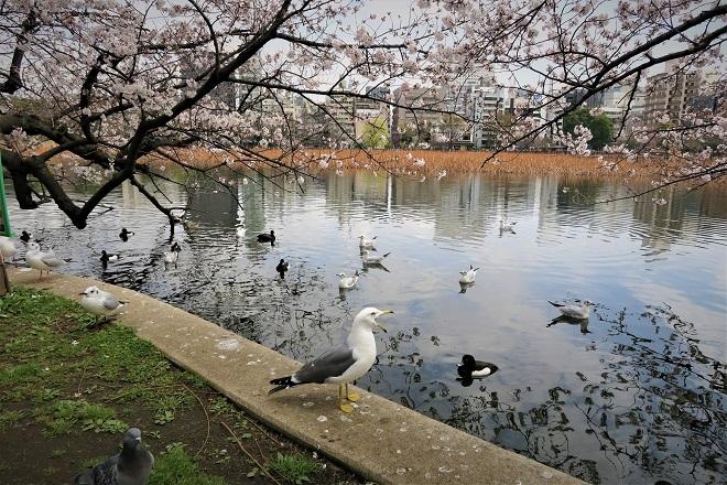 2018年 上野公園の桜(13)