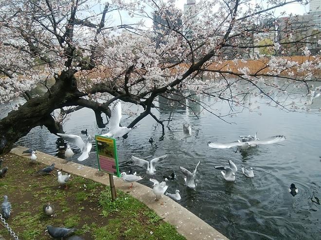 2018年 上野公園の桜(14)