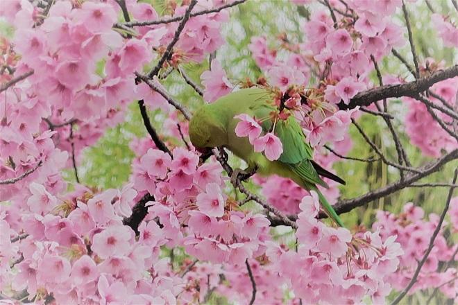 2018年 上野公園の桜(15)