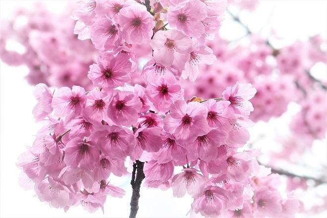 2018年 上野公園の桜(16)