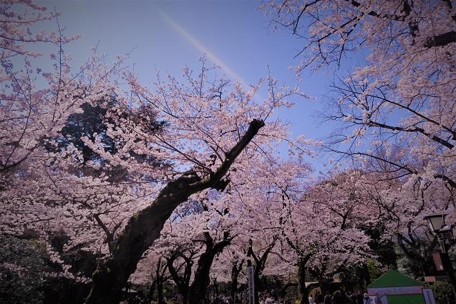 2018靖国神社の桜(4)