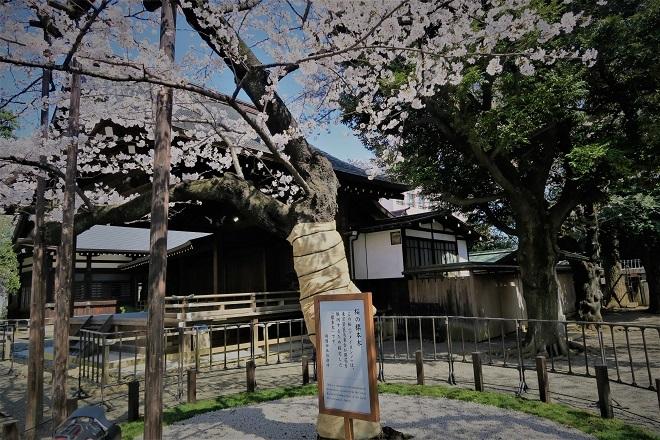 2018靖国神社の桜(5)