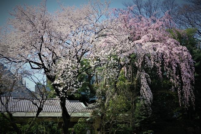 2018靖国神社の桜(11)
