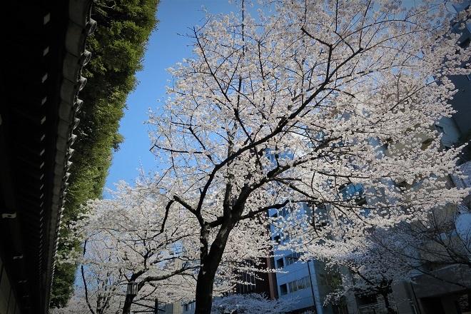 2018靖国神社の桜(12)