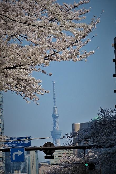 2018靖国神社の桜(13)