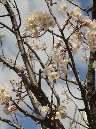 サクランボの木①