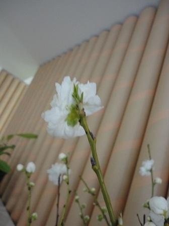 アーモンドの花①