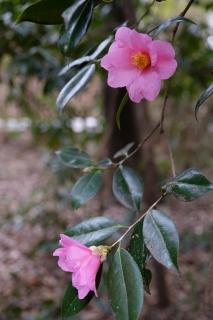 15大宮八幡ピンクの椿
