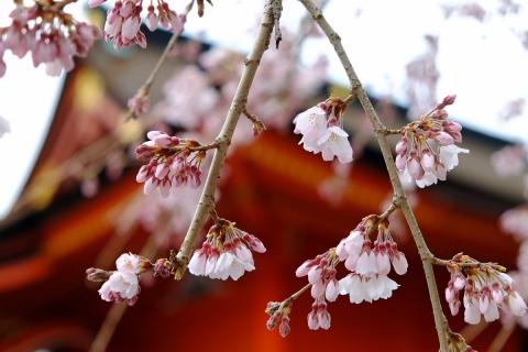 07浅間大社の枝垂れ桜