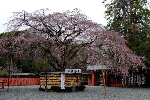 08浅間大社の枝垂れ桜