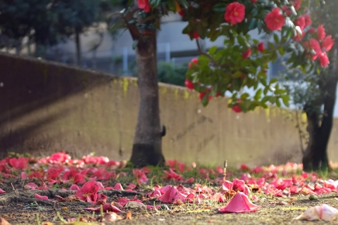 03椿落花