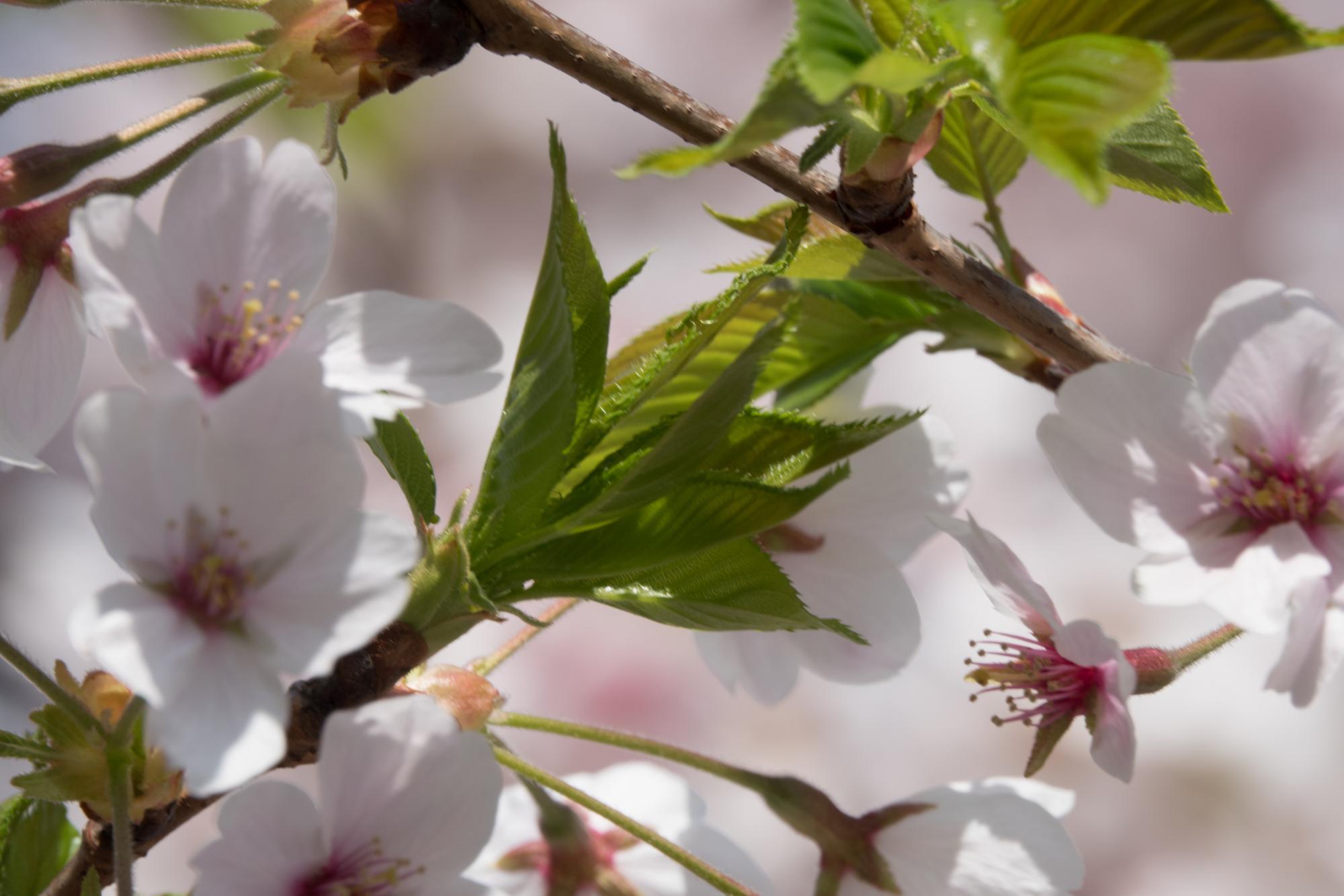20180329-葉桜