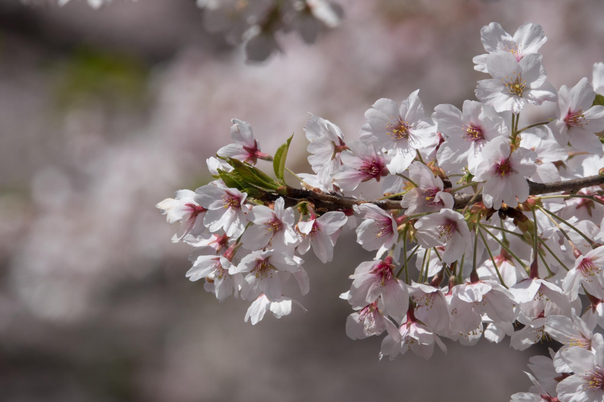 20180329-桜2