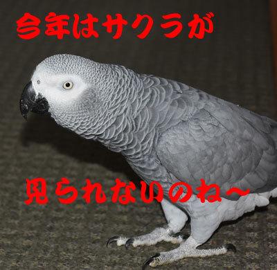 5_さくら
