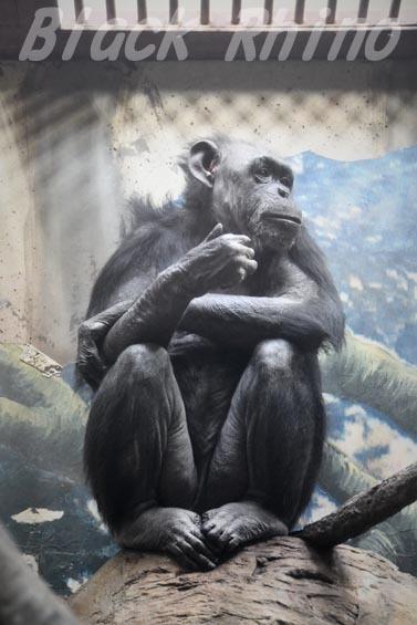 ニシチンパンジー プテリ 天王寺動物園
