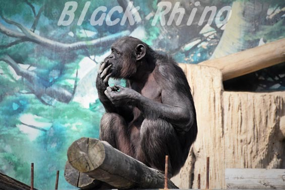 ニシチンパンジー ミツコ?1 天王寺動物園