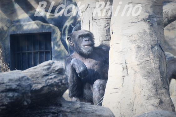 ニシチンパンジー レックス1 天王寺動物園