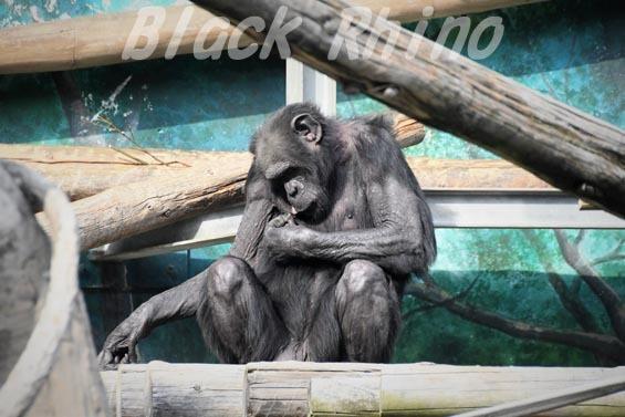 ニシチンパンジー レックス2 天王寺動物園