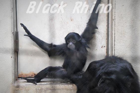 フクロテナガザル 子ども 天王寺動物園