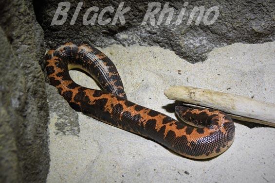 ケニアスナボア 京都市動物園