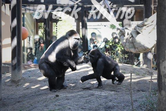 ニシローランドゴリラ ゲンキとゲンタロウ 京都市動物園