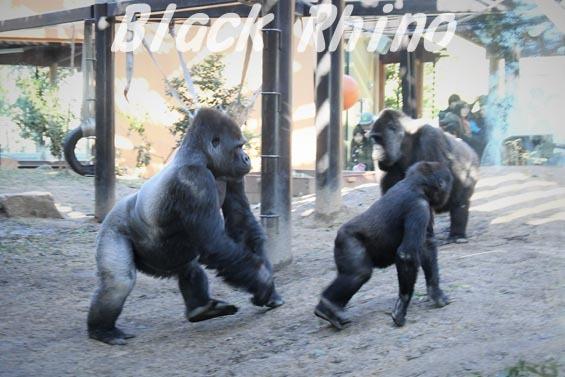 ニシローランドゴリラ モモタロウ一家 京都市動物園