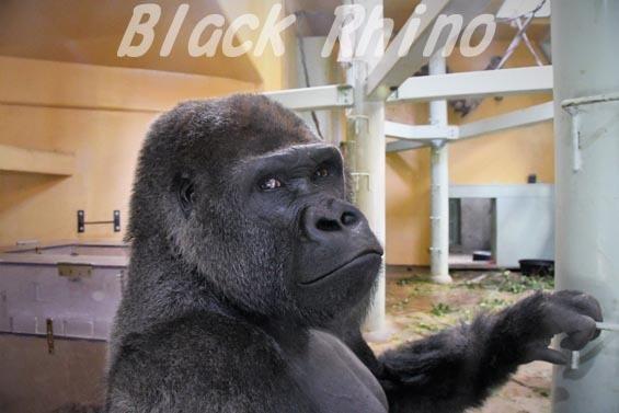 ニシローランドゴリラ モモタロウ1 京都市動物園