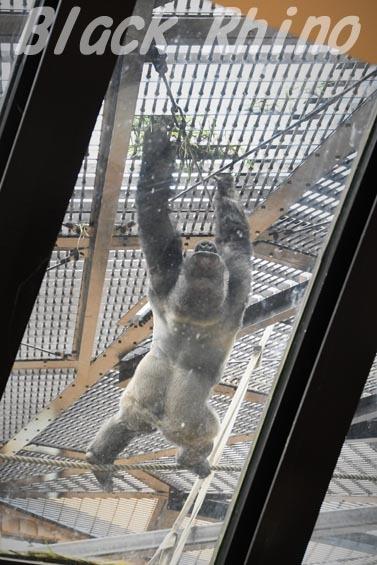 ニシローランドゴリラ モモタロウ2 京都市動物園