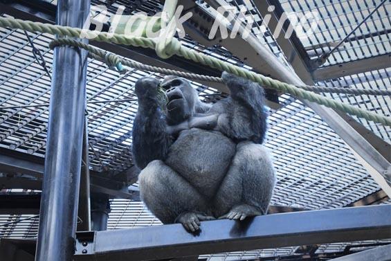 ニシローランドゴリラ モモタロウ3 京都市動物園