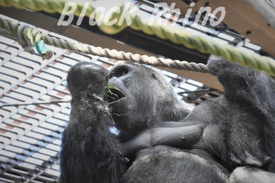 ニシローランドゴリラ モモタロウ4 京都市動物園