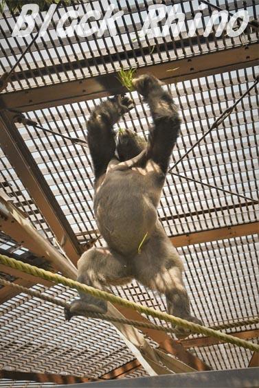 ニシローランドゴリラ モモタロウ5 京都市動物園