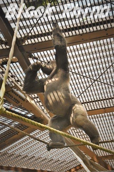 ニシローランドゴリラ モモタロウ6 京都市動物園