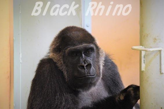 ニシローランドゴリラ ゲンキ1 京都市動物園