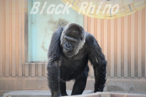 ニシローランドゴリラ ゲンキ2 京都市動物園