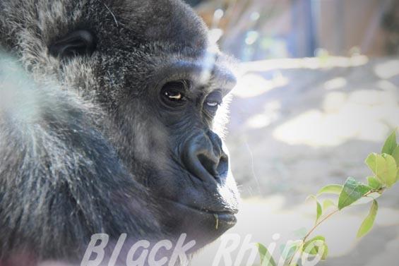 ニシローランドゴリラ ゲンキ3 京都市動物園