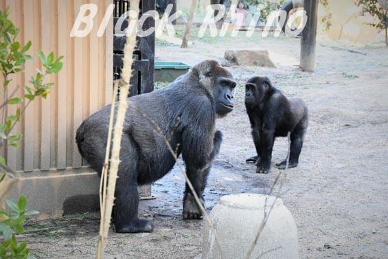 ニシローランドゴリラ ゲンキ4 京都市動物園