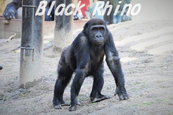 ニシローランドゴリラ ゲンタロウ1 京都市動物園