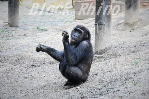 ニシローランドゴリラ ゲンタロウ2 京都市動物園