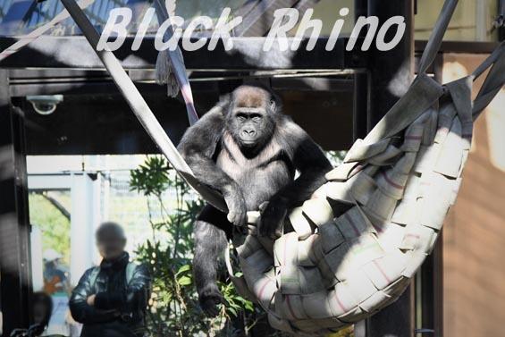 ニシローランドゴリラ ゲンタロウ3 京都市動物園