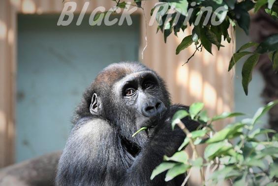 ニシローランドゴリラ ゲンタロウ4 京都市動物園