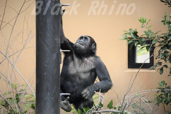ニシローランドゴリラ ゲンタロウ5 京都市動物園