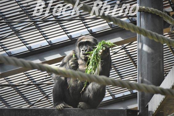 ニシローランドゴリラ ゲンタロウ6 京都市動物園