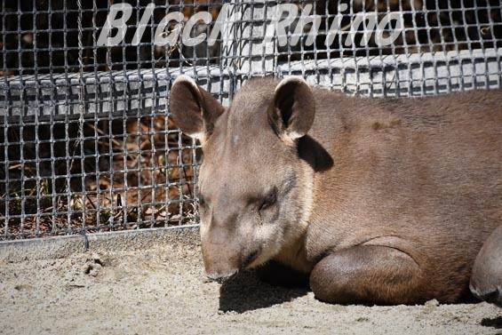 ブラジルバク ナット2 京都市動物園