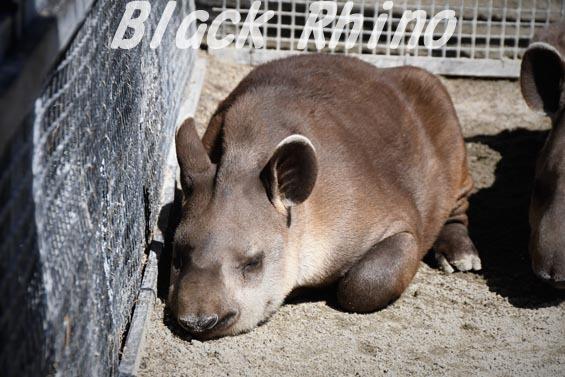 ブラジルバク ナット3 京都市動物園