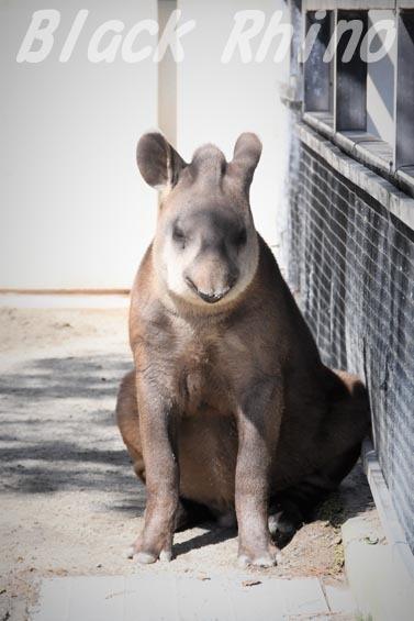 ブラジルバク ナット4 京都市動物園