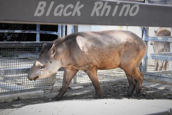 ブラジルバク ミノリ1 京都市動物園