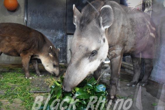 ブラジルバク ミノリ3 京都市動物園