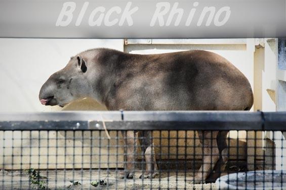 ブラジルバク カルロス 京都市動物園